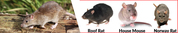 Rat Removal Ascot Services